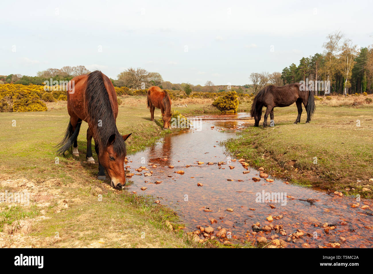 Three New Forest ponies drinking from a stream during a period of dry weather, Hampshire, UK - Stock Image