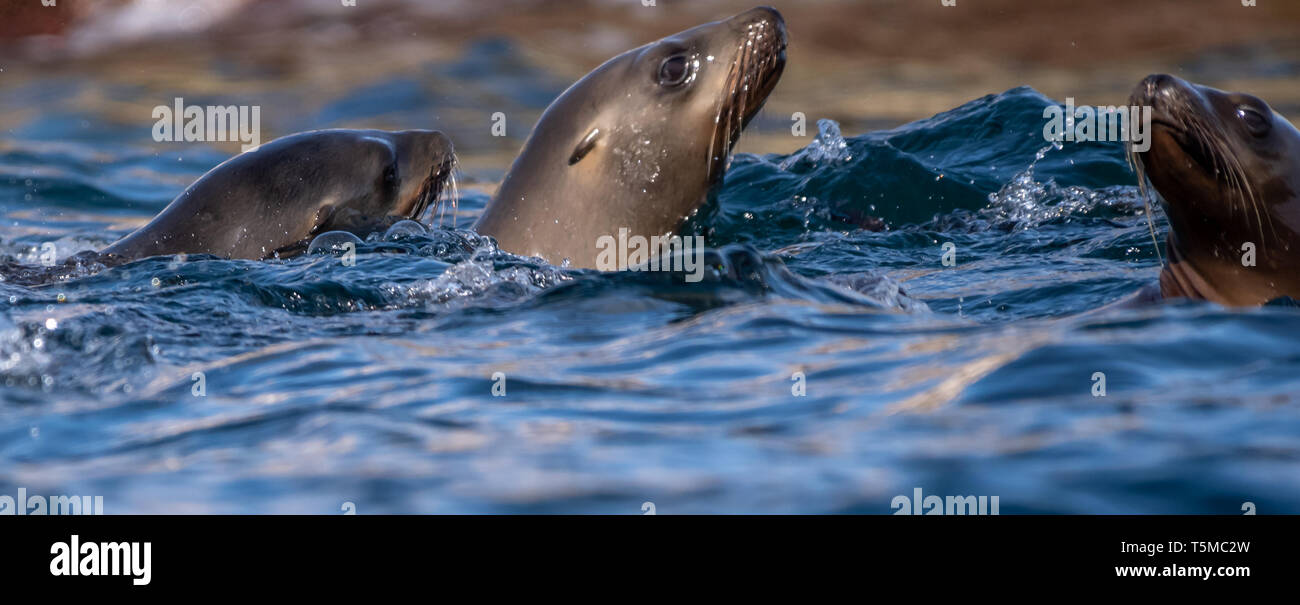 California sea lions (Zalophus californianus) in Baja California, Mexico. - Stock Image