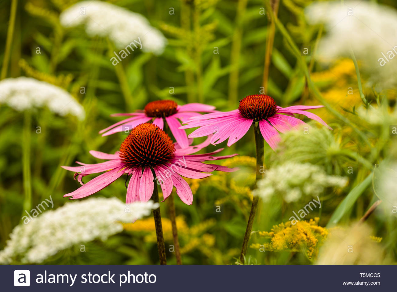 In late August, the Purple Coneflowers reside alongside the Queen Anne's Lace and Goldenrod within the Forest Beach Migratory Preserve, Port Washingto - Stock Image