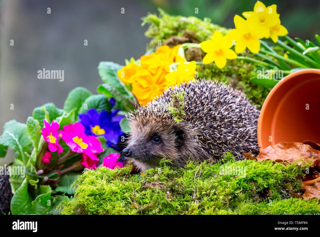 Hedgehog, (Erinaceus Europaeus) wild, native, European hedgehog in Springtime with colourful spring flowers, grass and plant pot. Landscape. copyspace - Stock Image