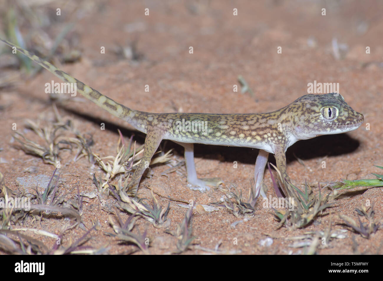 Middle Eastern Short-Fingered Gecko (Stenodactylus doriae) standing in the United Arab Emirates desert in the sand at night. Stock Photo