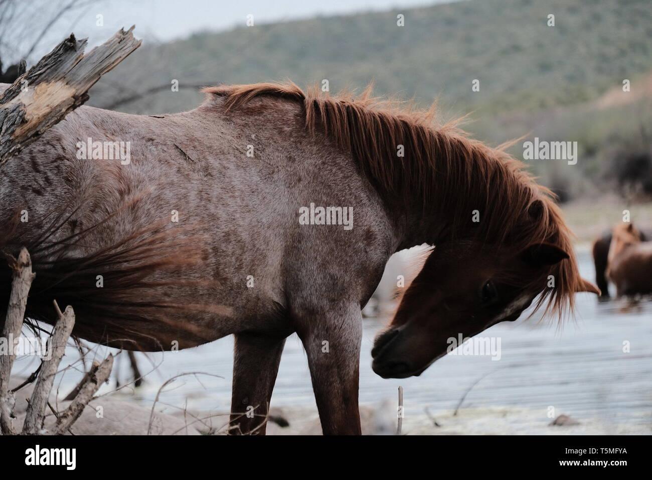 Wild horses at the salt river in Arizona Stock Photo