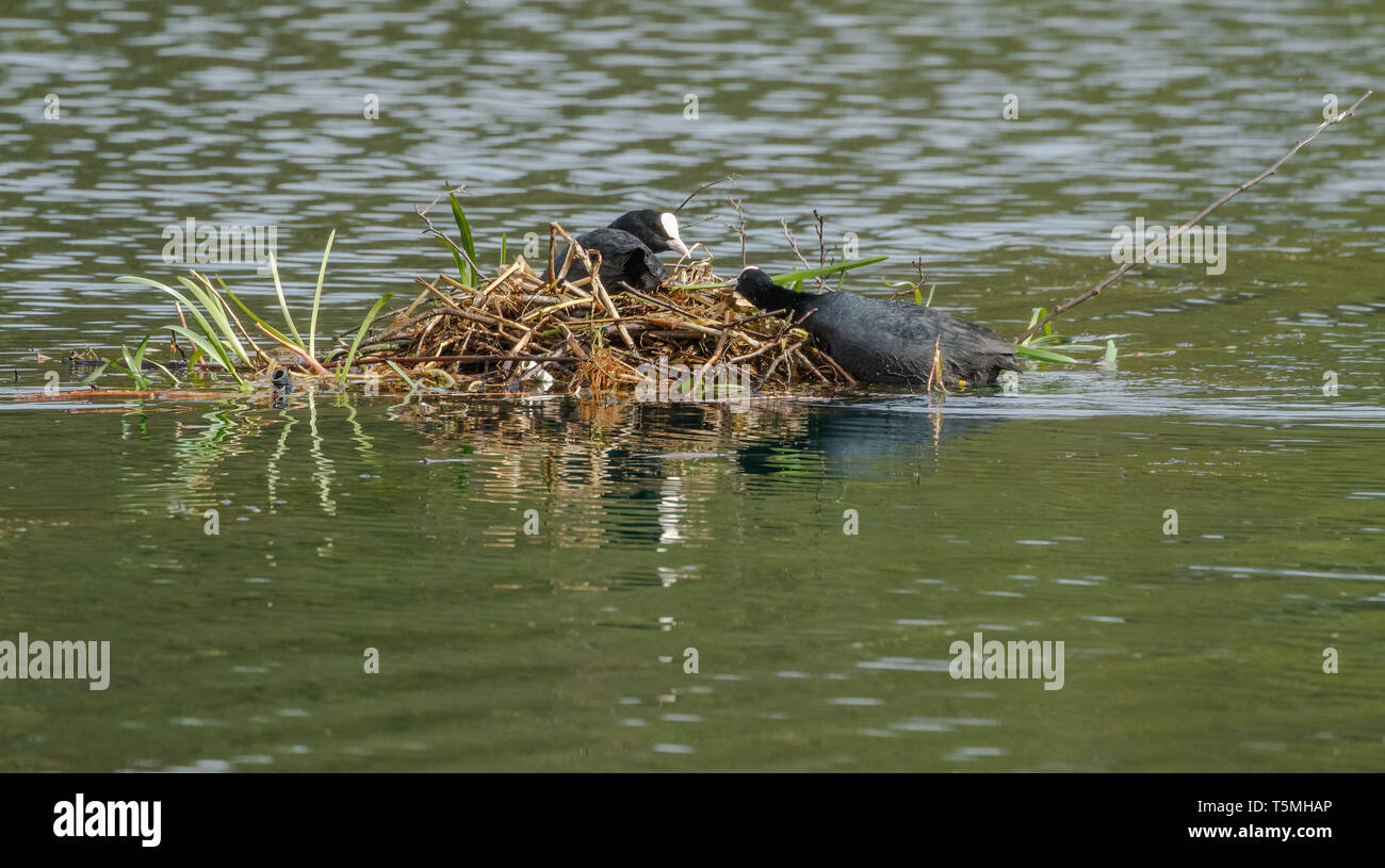 Coots (UK) nest building in the middle of a lake. Stock Photo