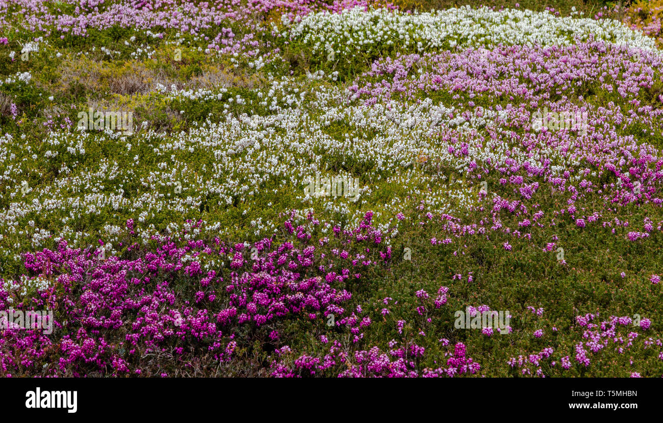 Mixed heathers fill a large flower bed. - Stock Image