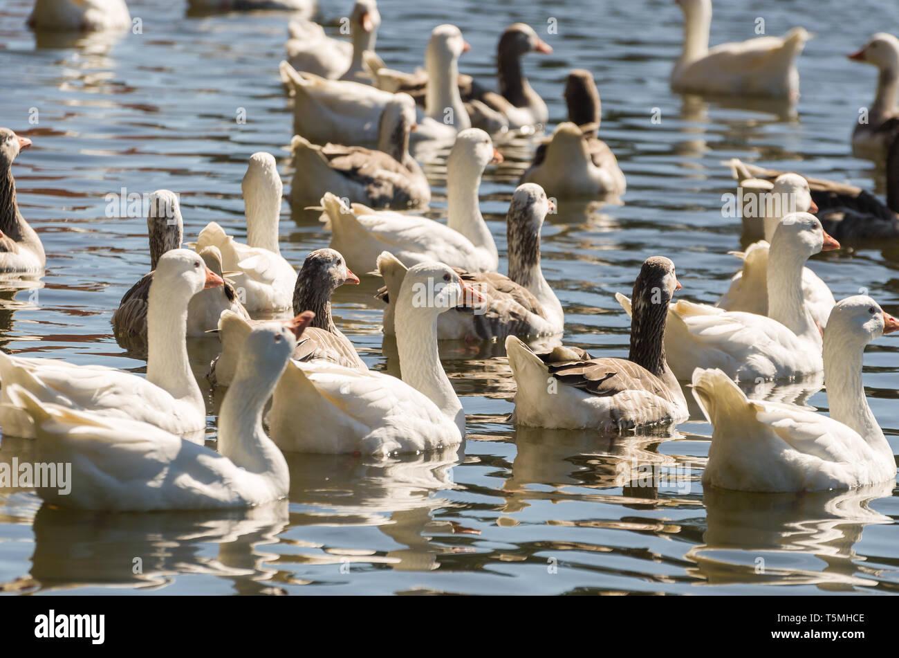 Several white ducks swimming on Lake São Bernardo in São Francisco de Paula in Brazil. - Stock Image