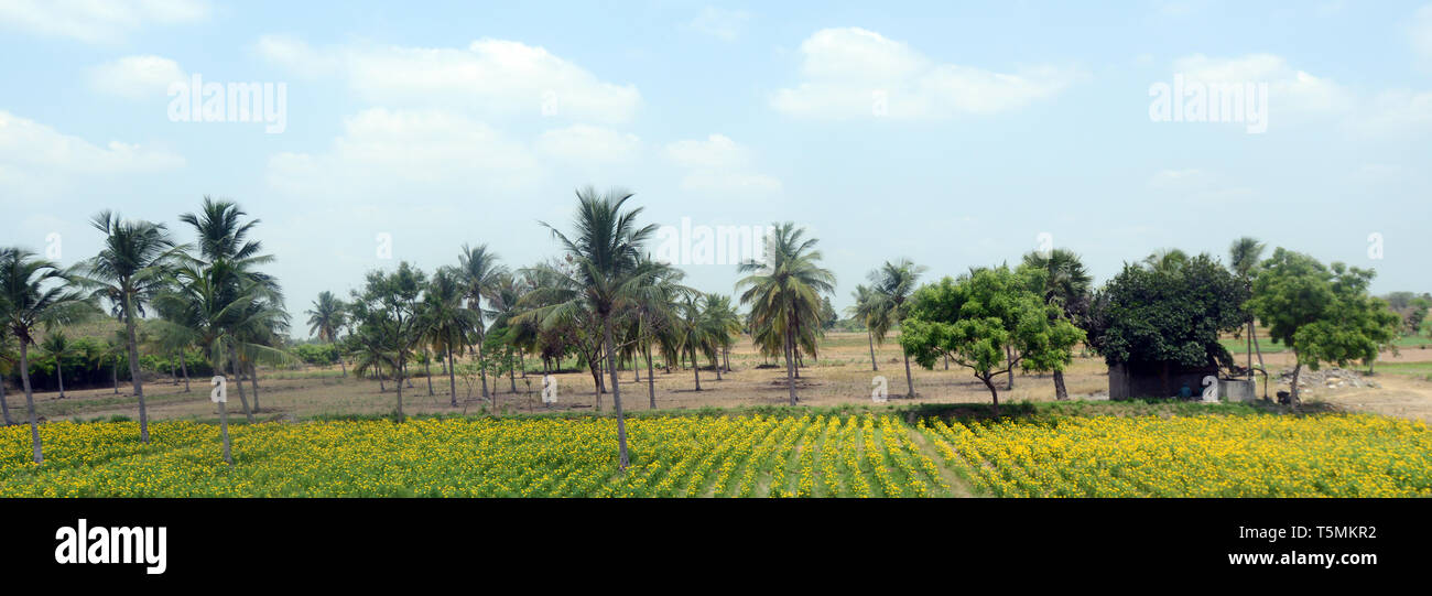 Chrysanthemums farm in Tamil Nadu, India. - Stock Image