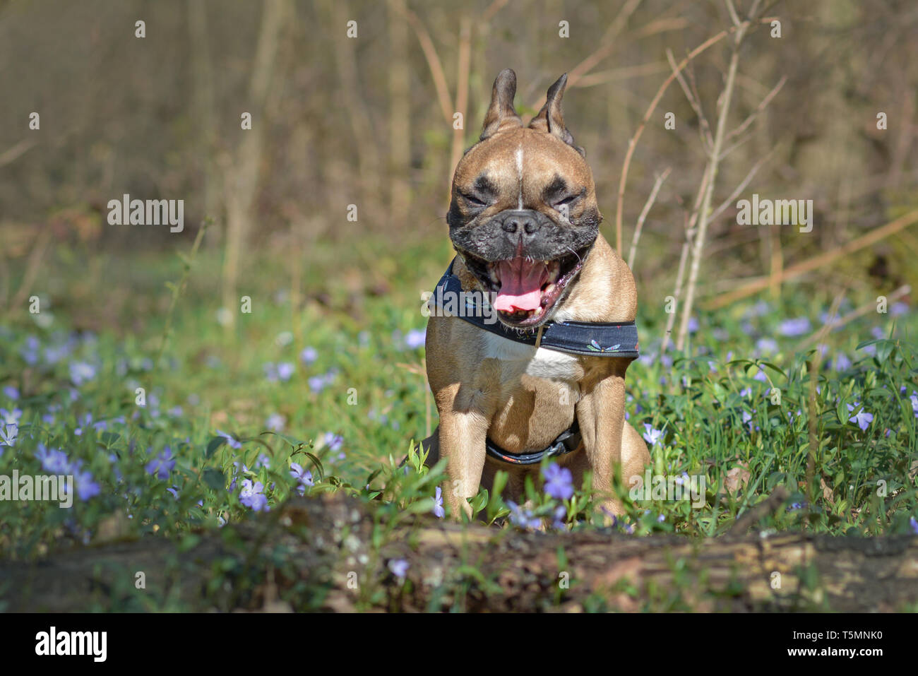 Funny yawning brown French Bulldog dog with mouth wide open sitting in forest among spring flowers - Stock Image