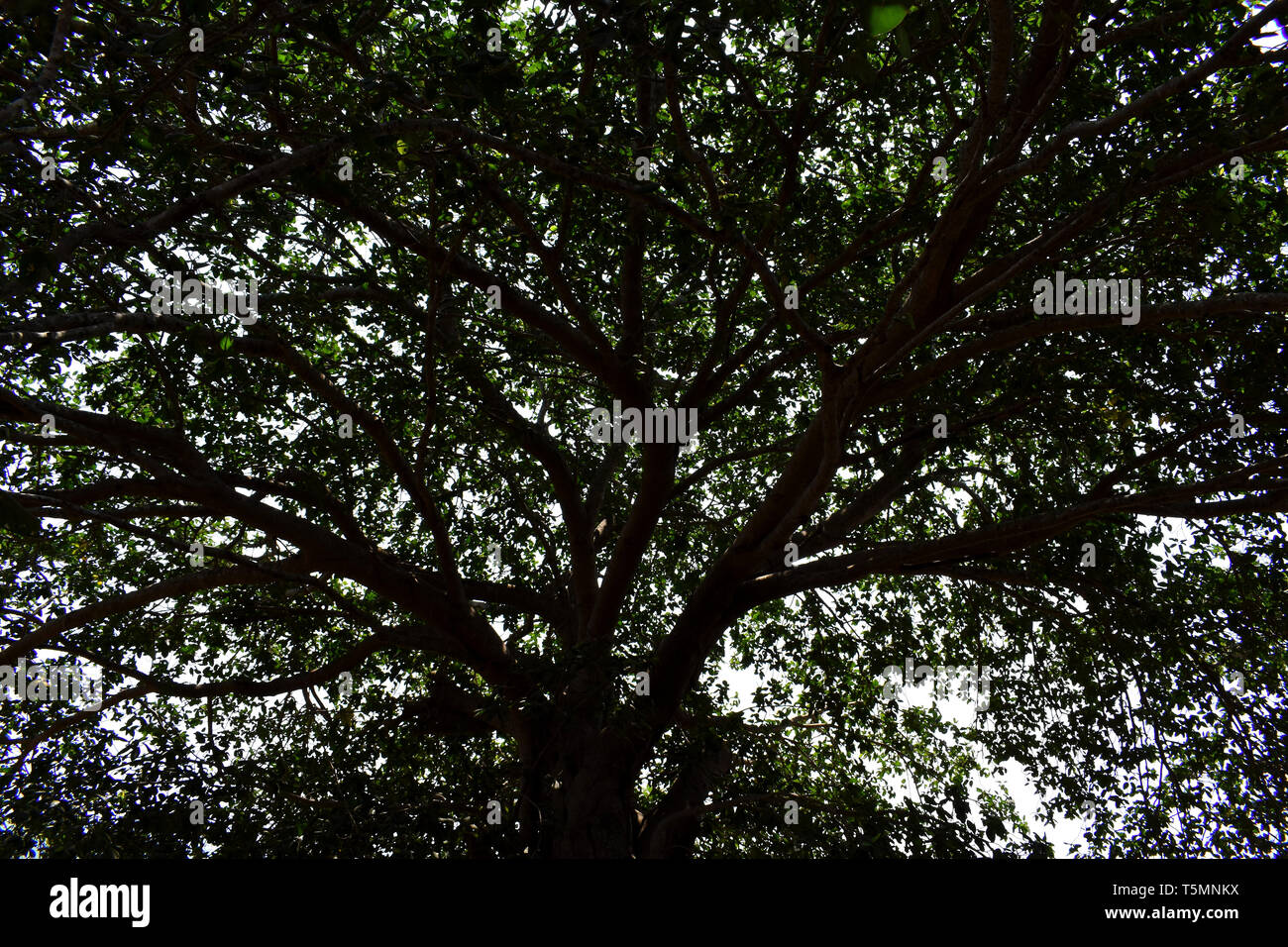 Silhouette of a Banyan tree.huge - Stock Image