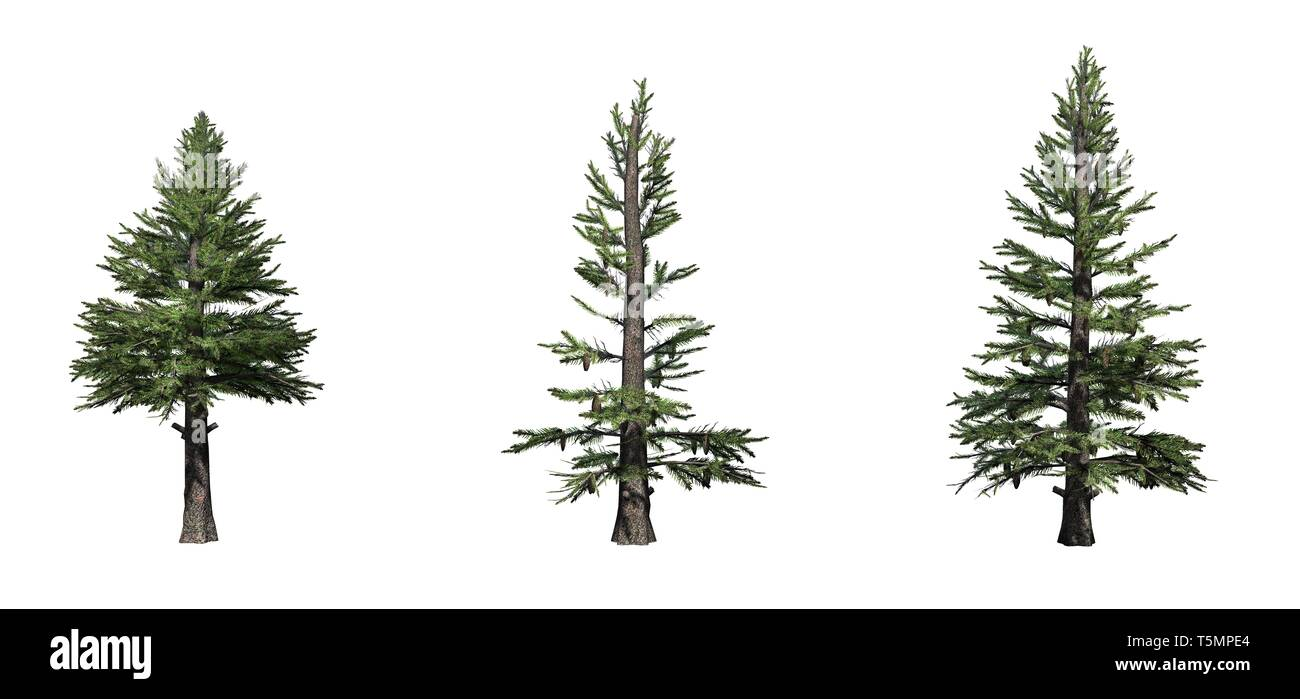 Set of Norway Spruce trees - isolated on a white background - Stock Image