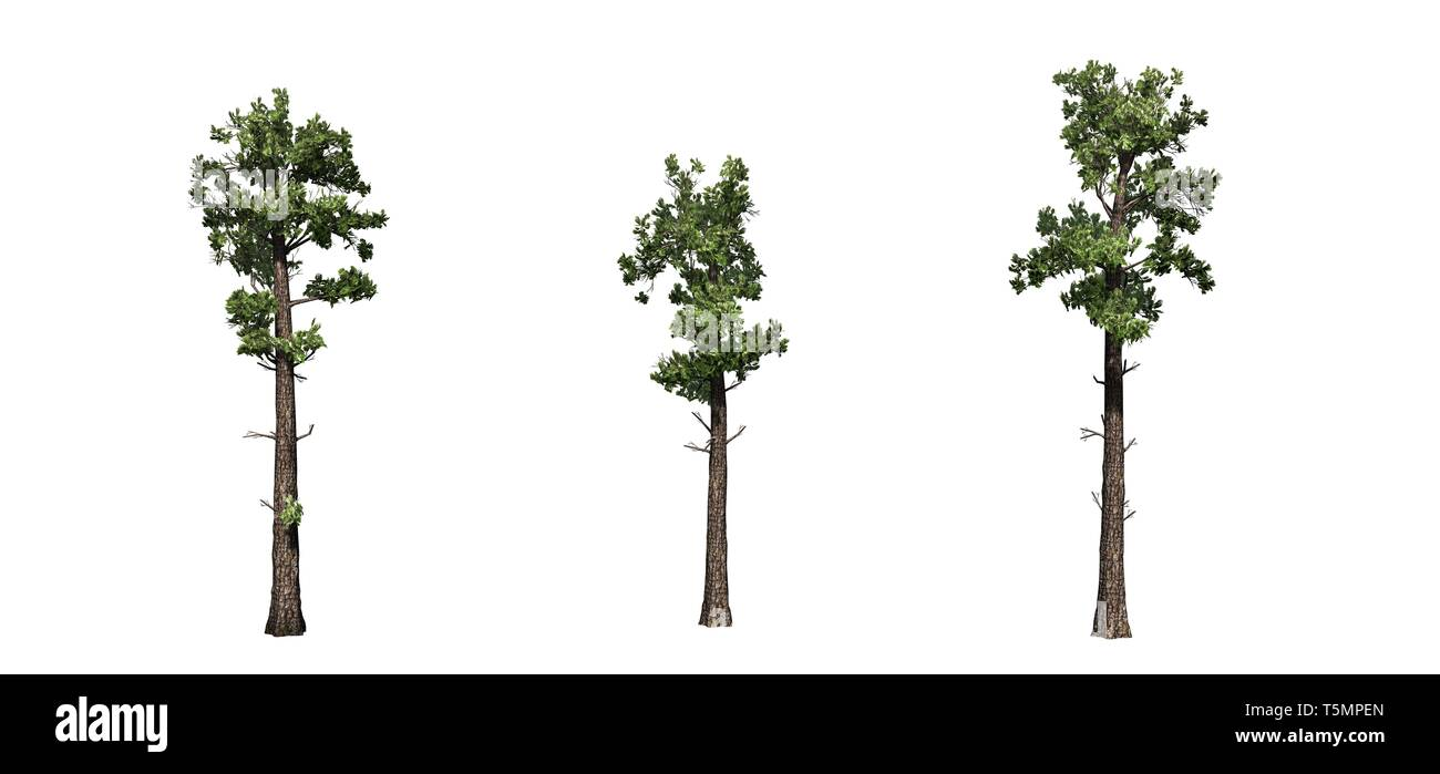 Set of Sample Conifer trees - isolated on a white background - Stock Image