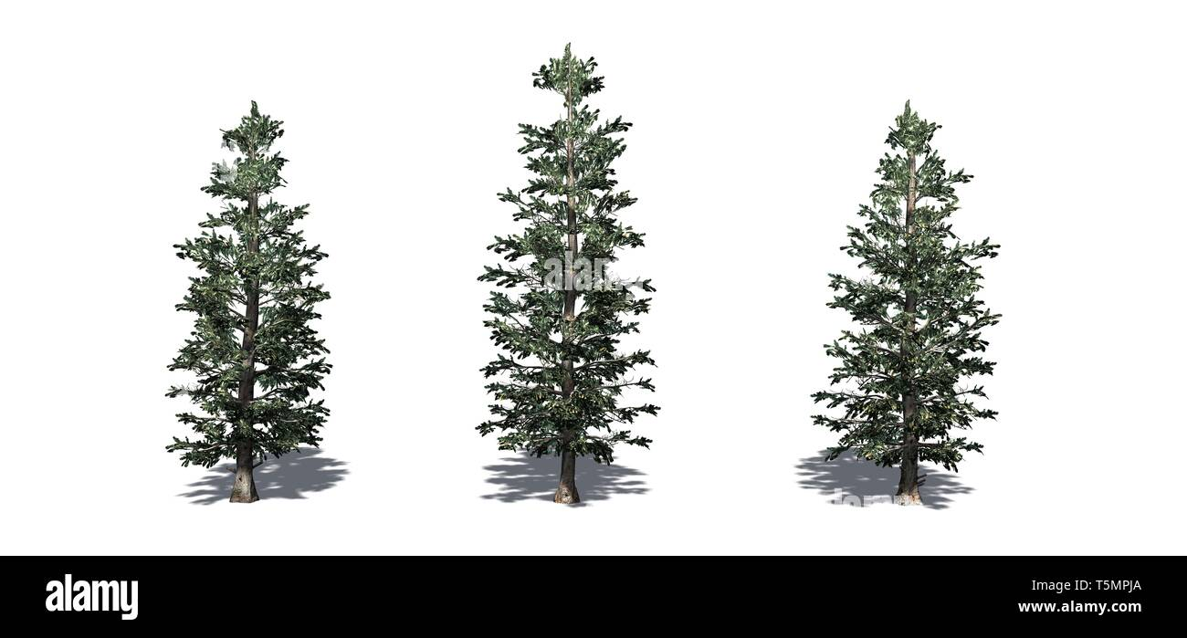 Set of Colorado Blue Spruce trees - isolated on a white background - Stock Image