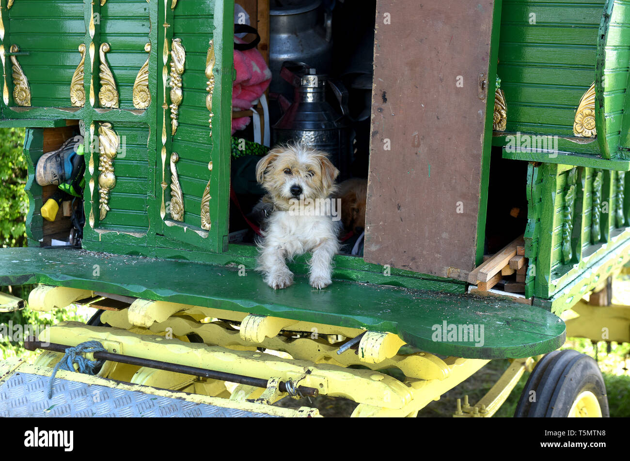 Pet dog on Romany Gypsy travellers caravan in Shropshire England Uk - Stock Image