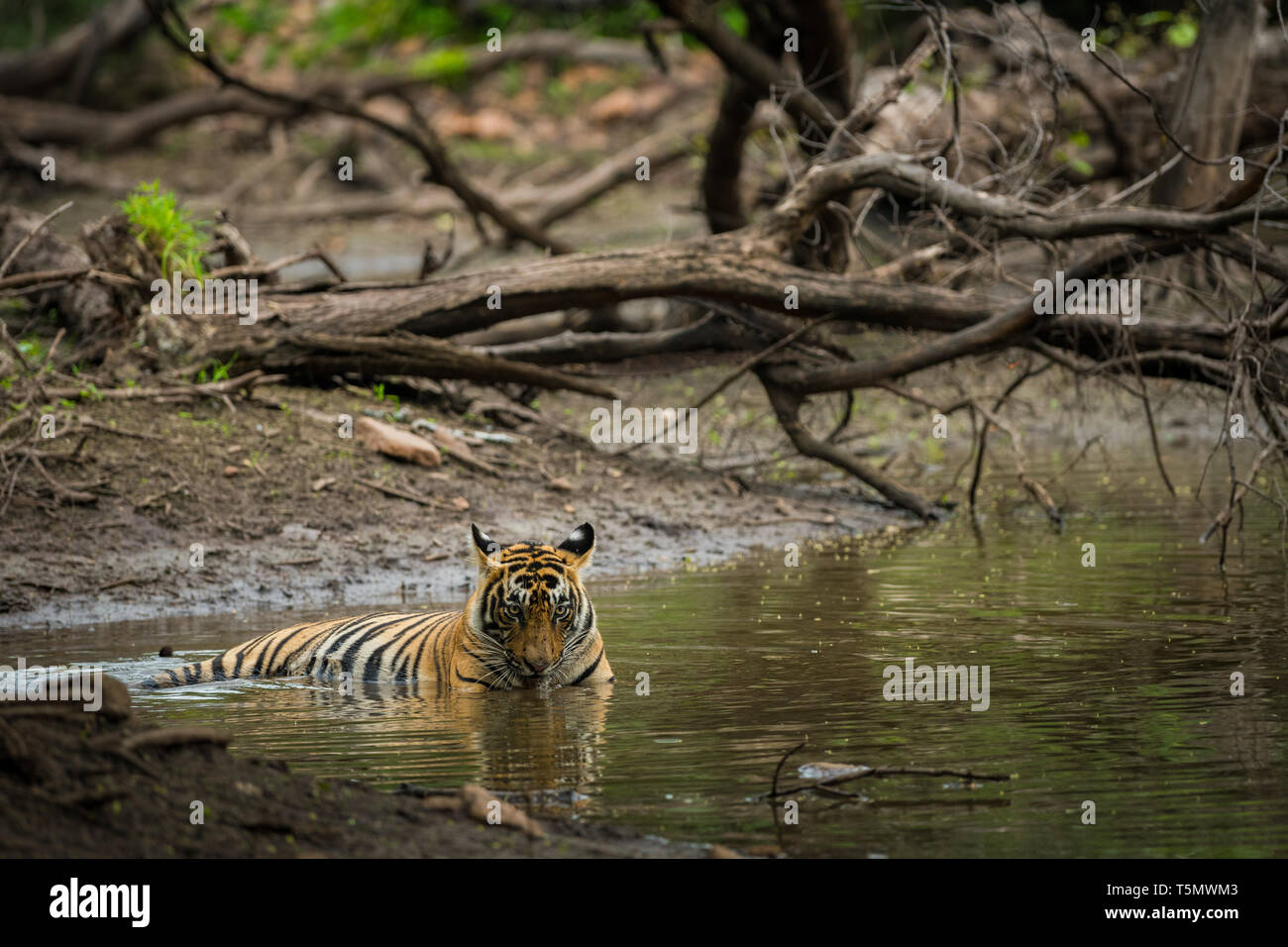 A bengal tiger (panthera tigris) closeup face quenching her thirst and cooling off in natural cold water in hot summers between rocks - Stock Image