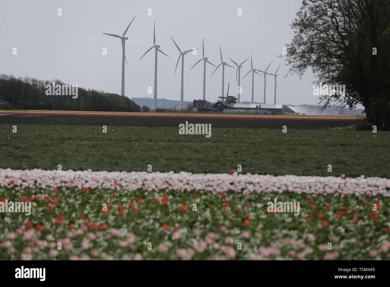 Dutch landscape, a tulipfield with modern windmills at the background Stock Photo