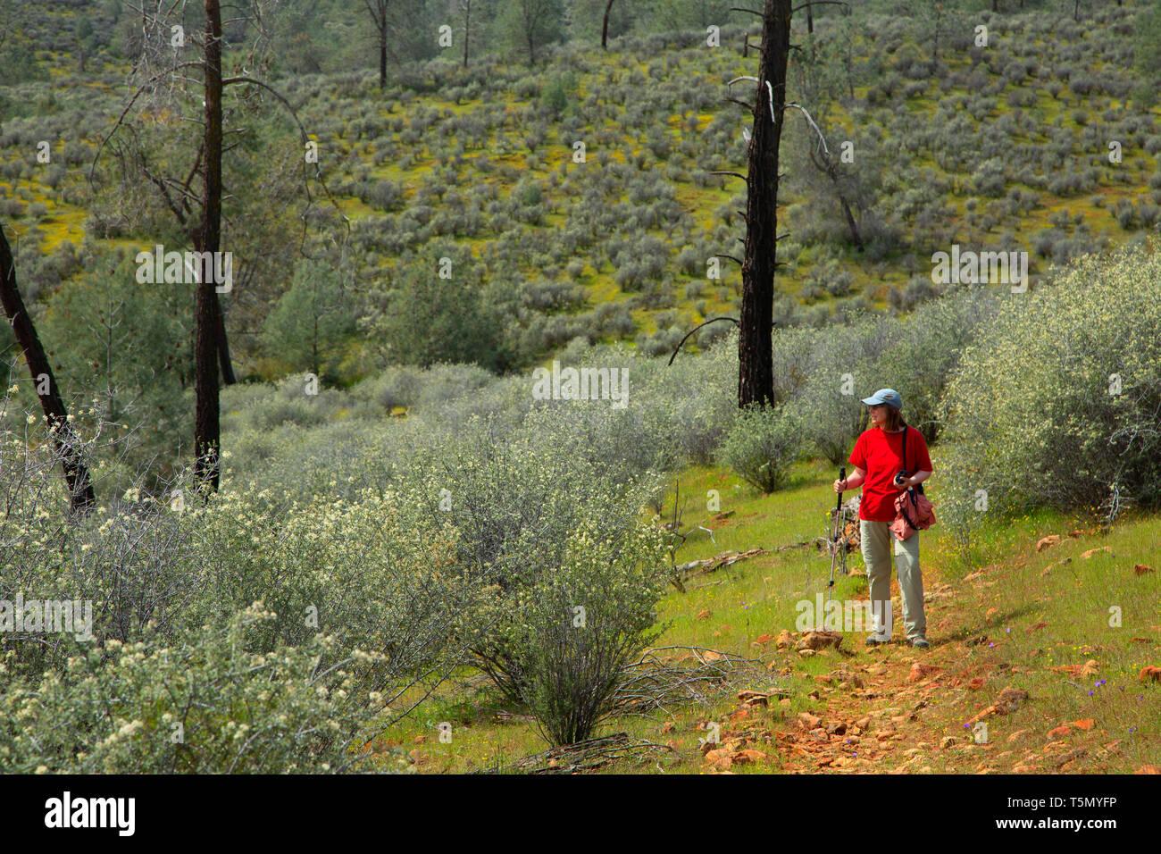 Trail through Buckbrush (Ceanothus cuneatus), Red Hills Area of Critical Environmental Concern, California - Stock Image
