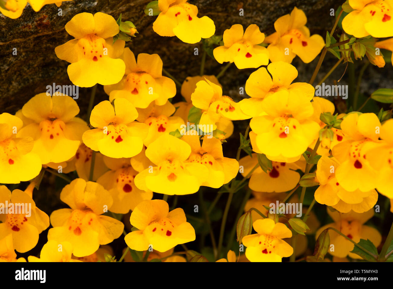 Seep Monkeyflower (Erythranthe guttata), Red Hills Area of Critical Environmental Concern, California - Stock Image