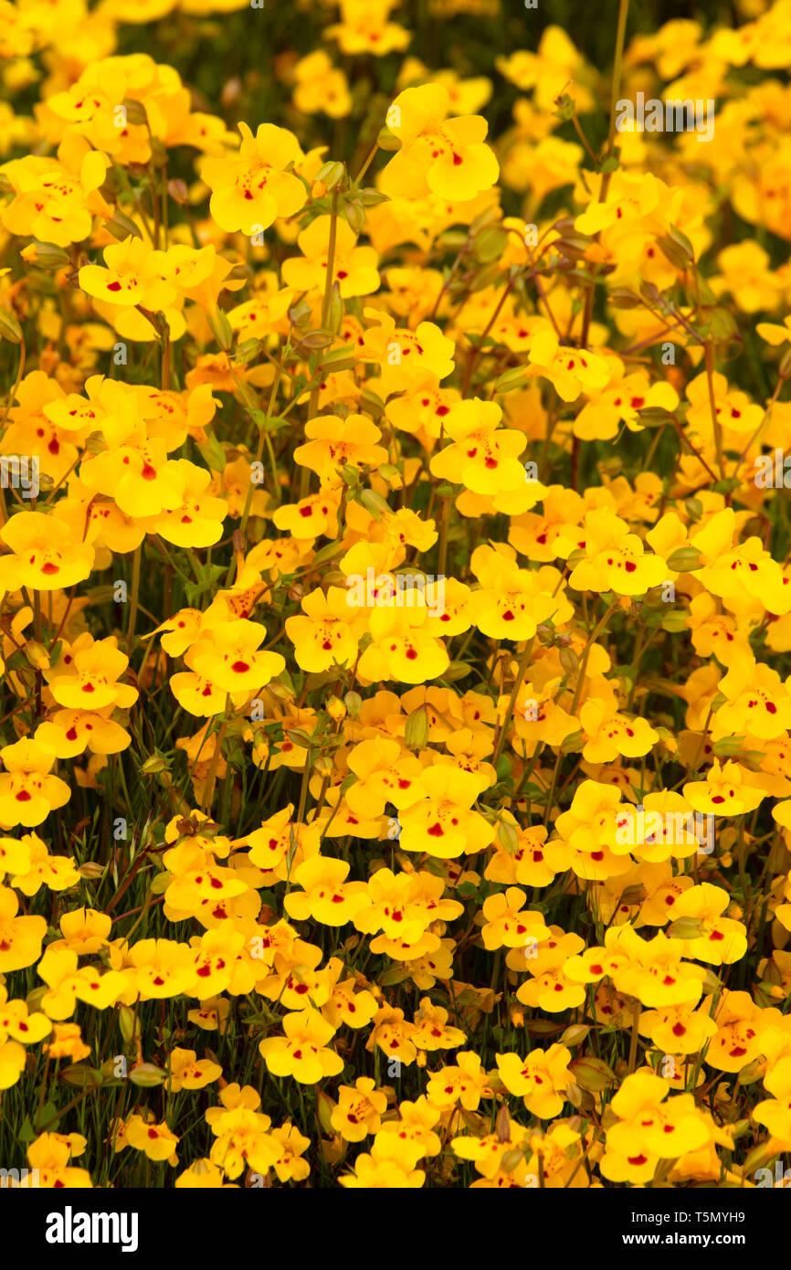 Seep Monkeyflower (Erythranthe guttata), Red Hills Area of Critical Environmental Concern, California - Stock Image