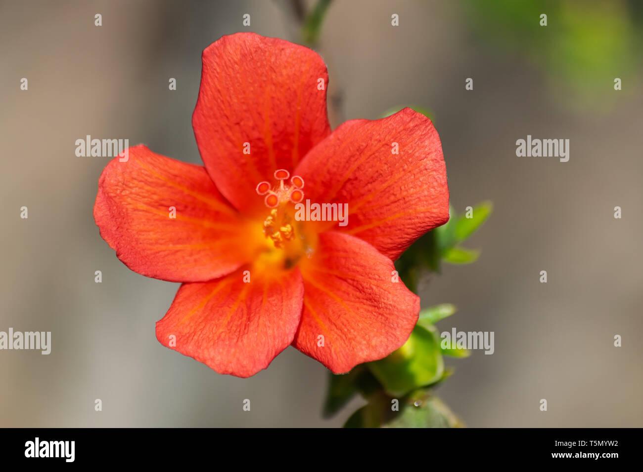 Red orange hibiscus boryanus flower, blooming with sunlight, botanic garden, Tenerife, Canary islands, Spain - Stock Image