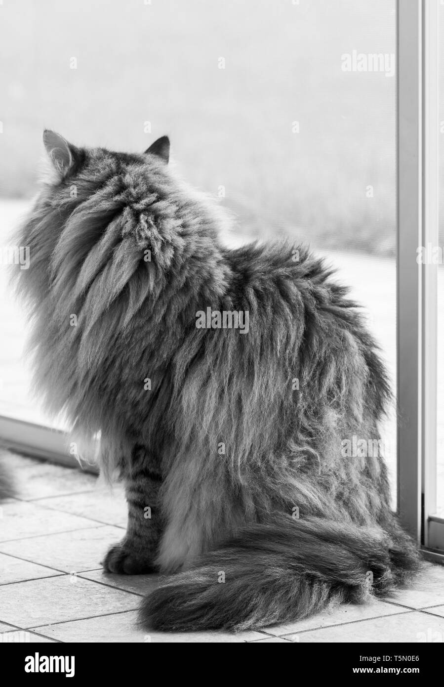 Long haired cat of siberian breed outdoor in relax - Stock Image