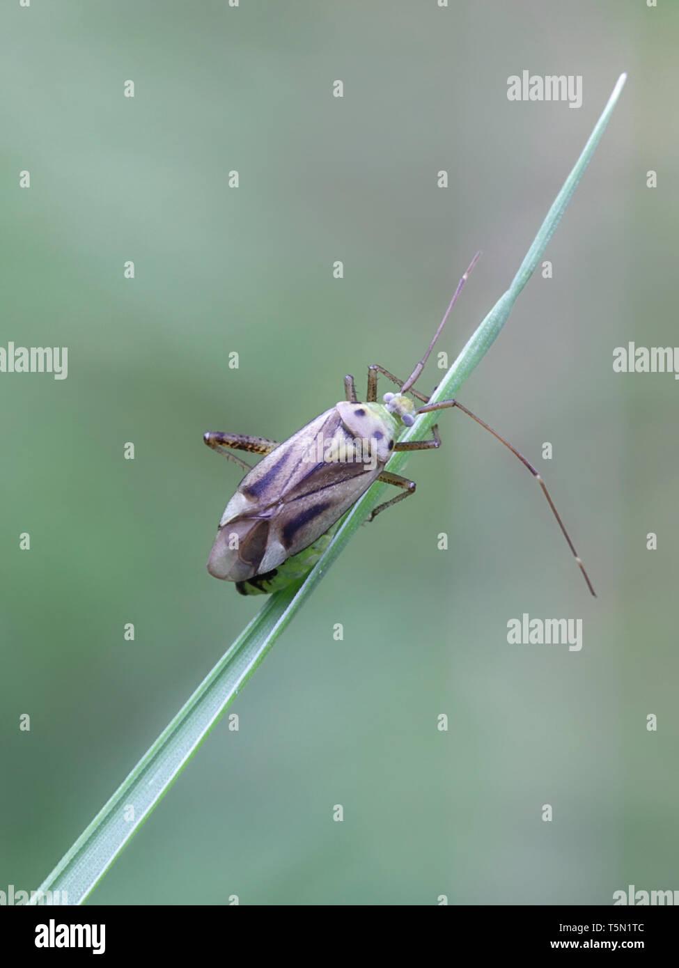 Capsid bug, also called mirid bug, Adelphocoris quadripunctatus - Stock Image