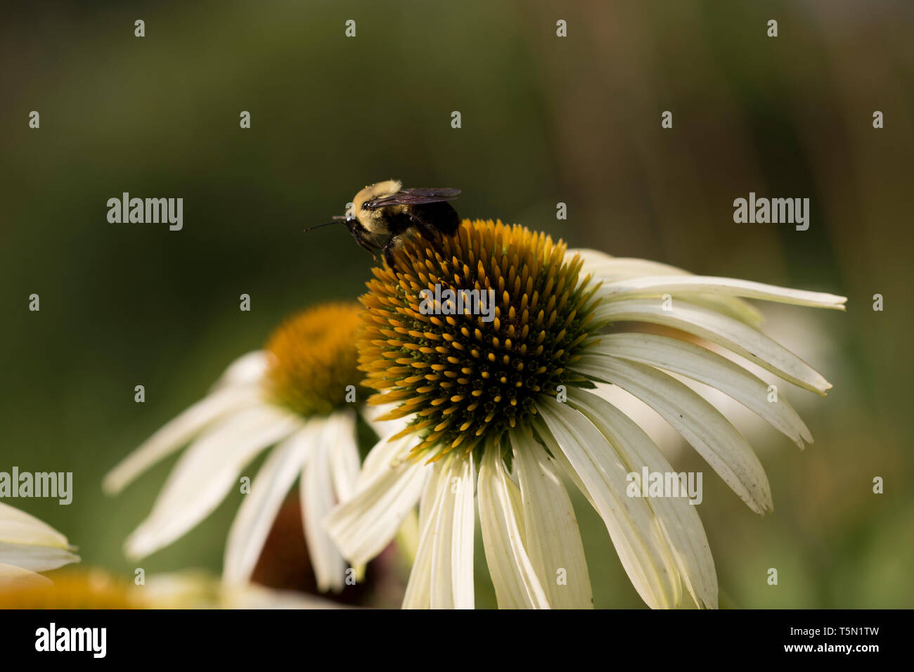 Pollinating flower bees collecting nectar from wild flowers. - Stock Image