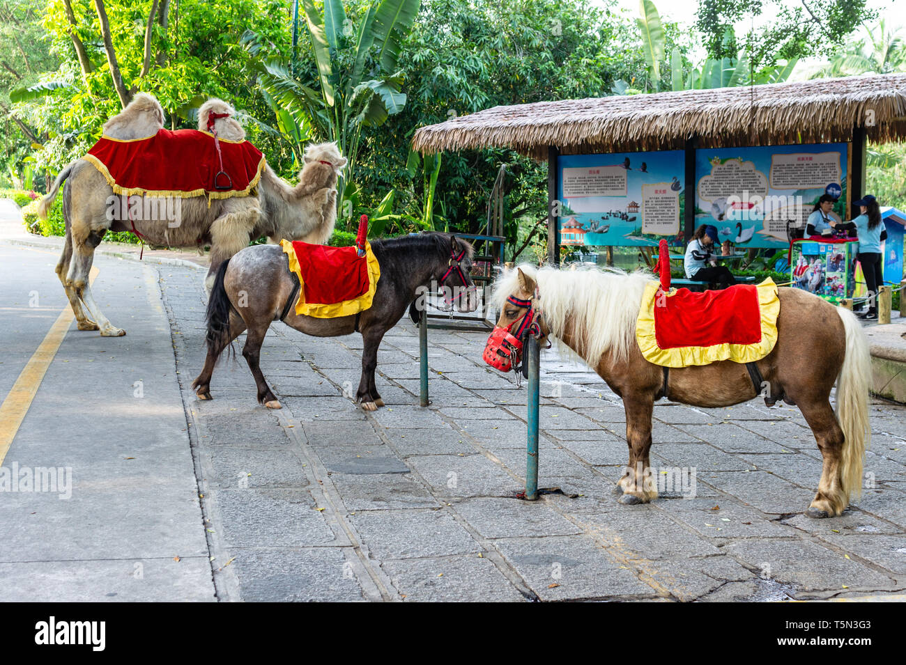 Sad looking show ponies waiting for customers at a zoo in Shenzhen China - Stock Image