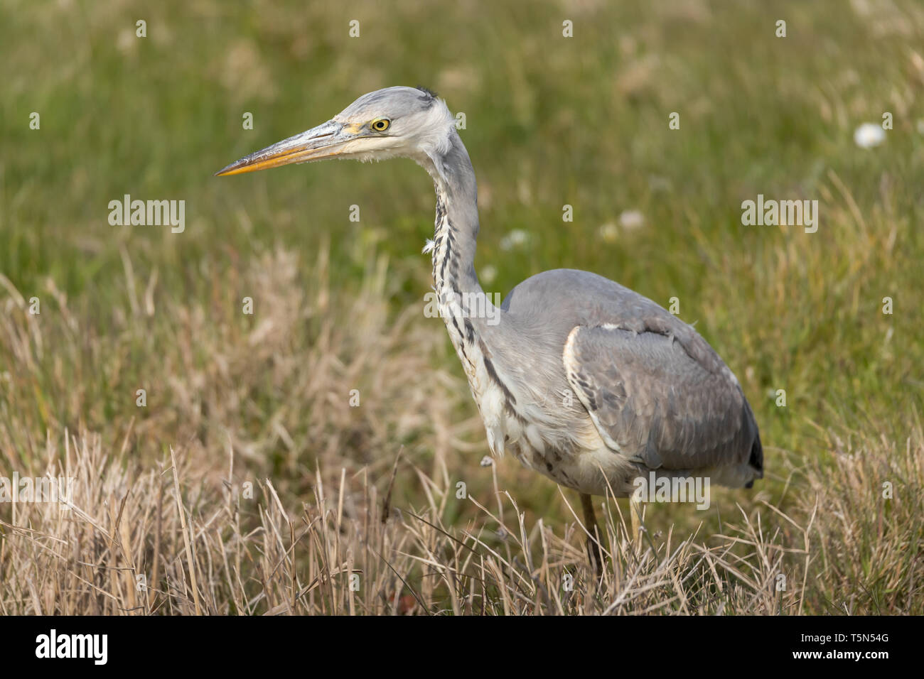 Grey Heron at Cley Marshes - Stock Image