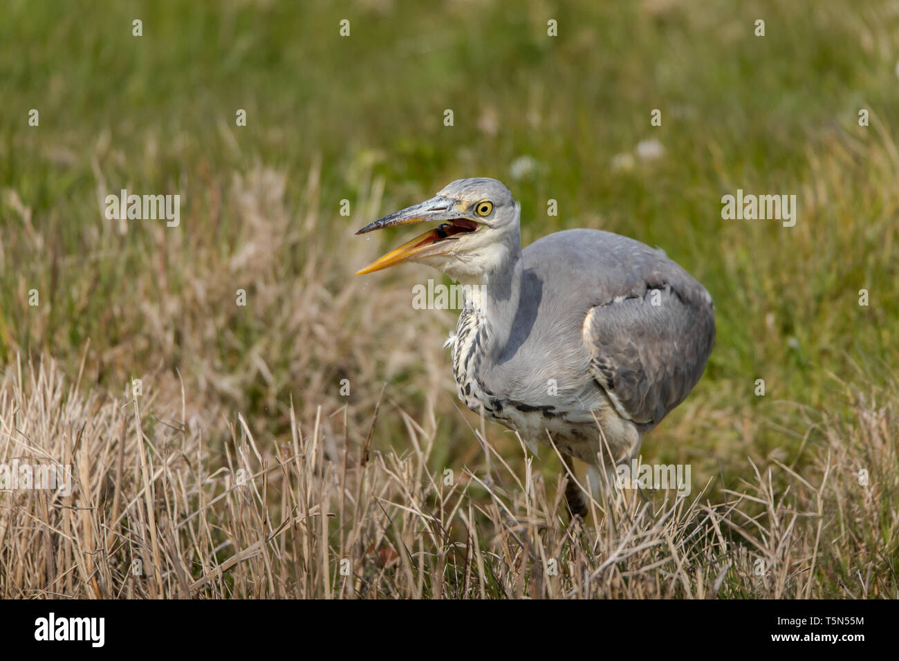 Grey Heron swallowing a fish - Stock Image