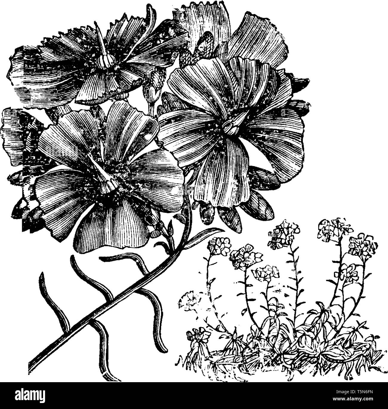This is a flowering branch of Calandrinia Umbellata. Flowers have brilliant magenta-crimson color and bright green leaves, vintage line drawing or eng - Stock Image