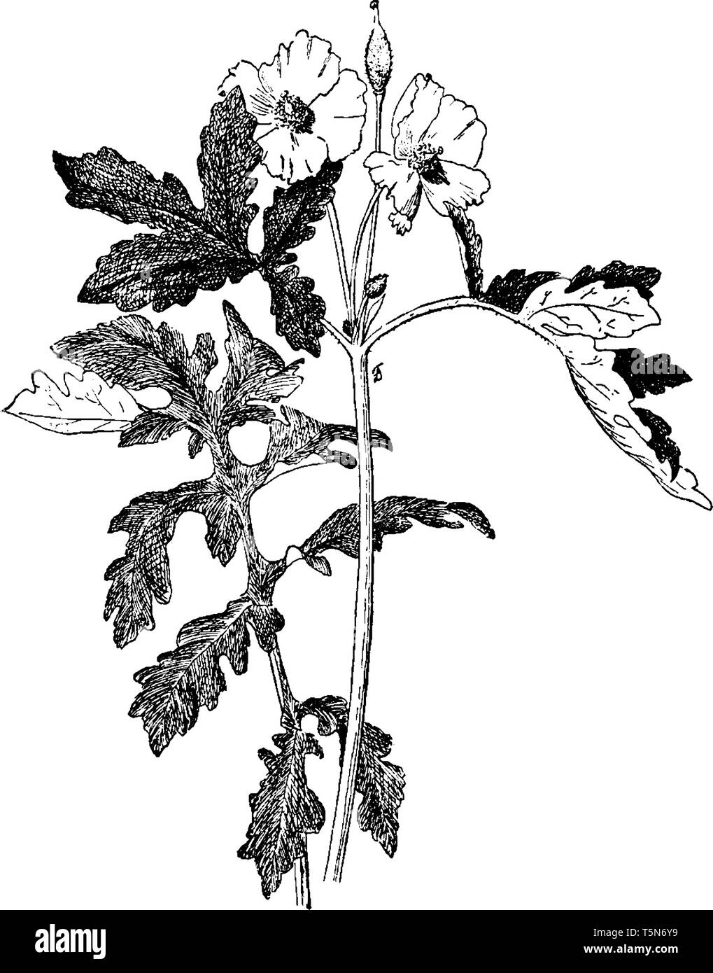 A picture shows Stylophorum Diphyllum. It is a perennial herb. It is native to damp woodland in eastern North America. These plants have yellow flower - Stock Vector