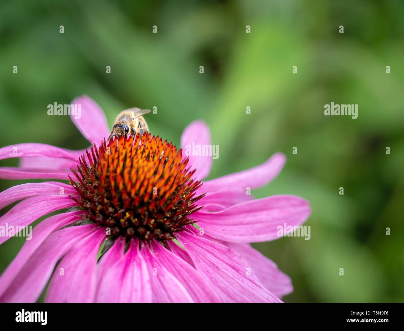 Bee collecting pollen on a eastern purple coneflower flower. Pollinating - Stock Image