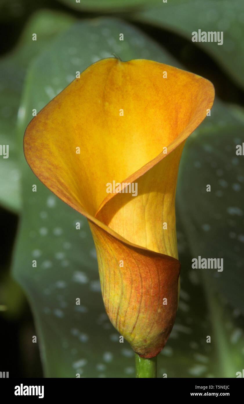 CALLA LILY ZANTEDESCHIA 'FLAME' - Stock Image