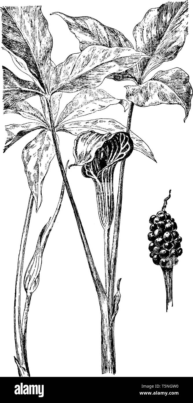 Jack-in-the-pulpit and green-dragon both are in the Arum Family. Plants range from 2 inches to 2 feet in height, vintage line drawing or engraving ill - Stock Vector