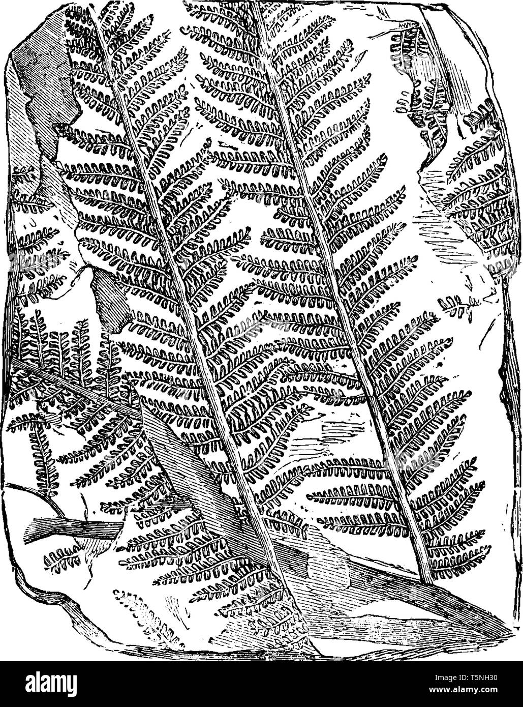 A picture of Fossil Tree Fern. Plants that flourished on earth millions of years ago are perfectly preserved as fossils, vintage line drawing or engra - Stock Vector
