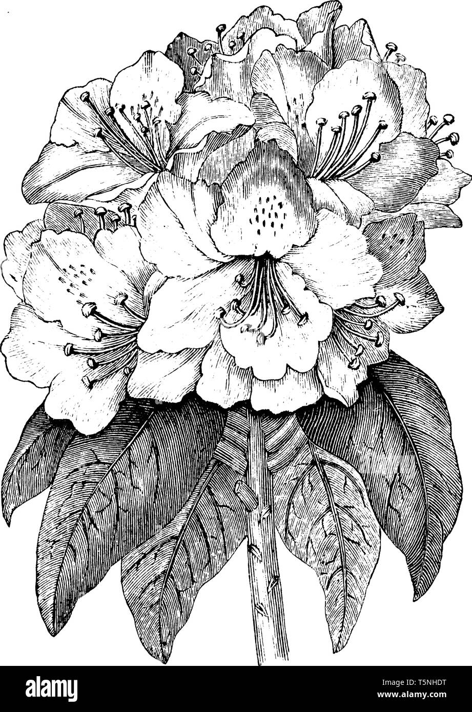 An image is of Rhododendron Ponticum flowering plant. it is used as an ornamental plant. It is commonly found in Asia, vintage line drawing or engravi - Stock Vector