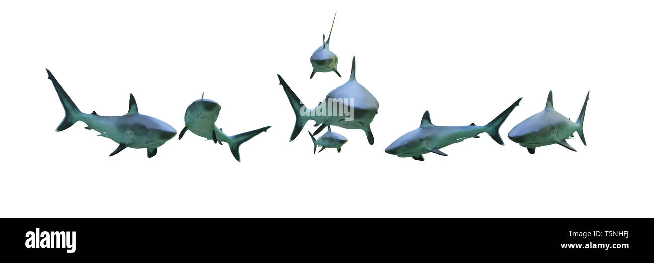 group of silvertip sharks isolated on white background , 3d illustration banner - Stock Image