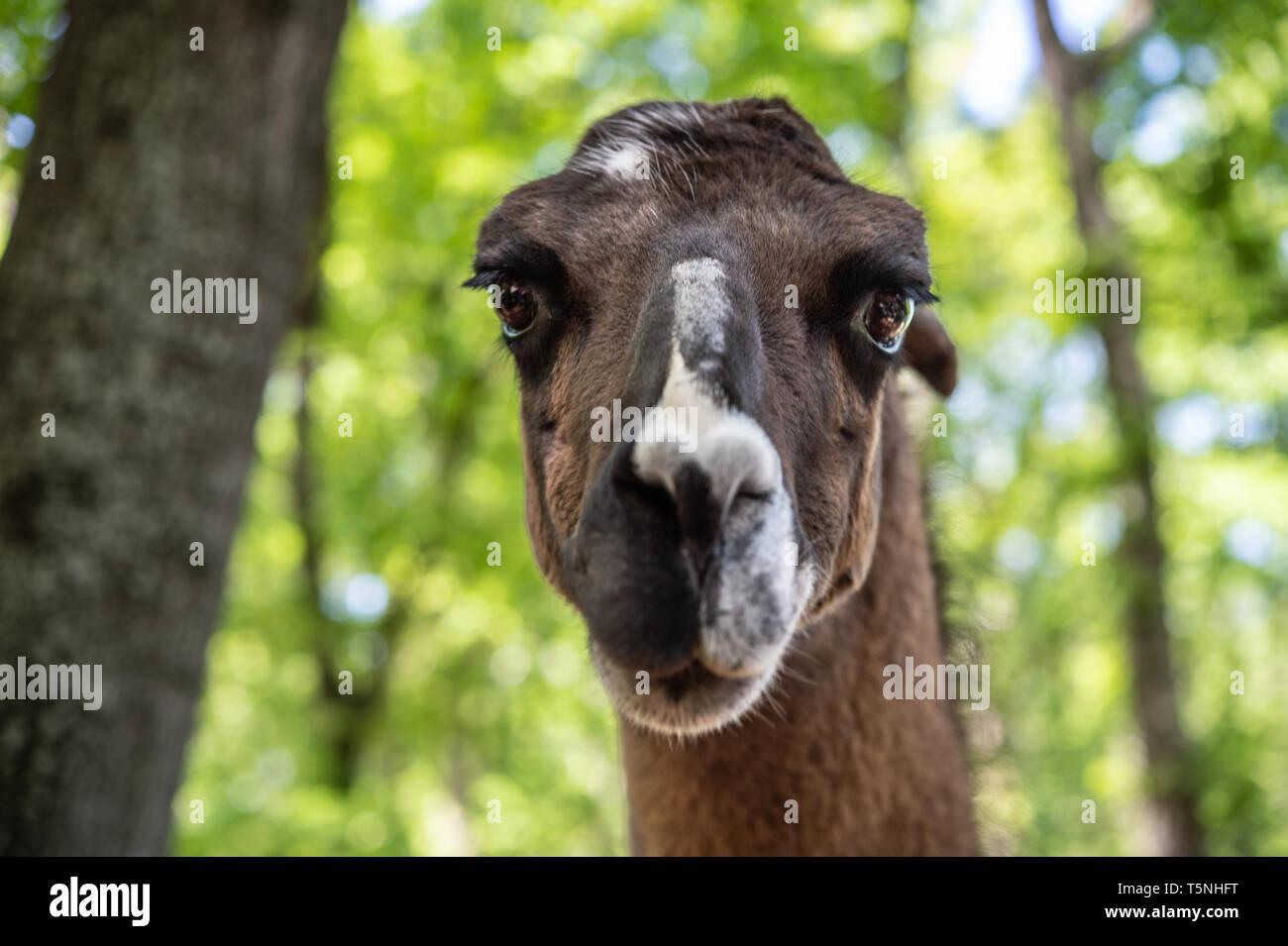 Portrait of LLama, Lama glama, Camelidae - Stock Image