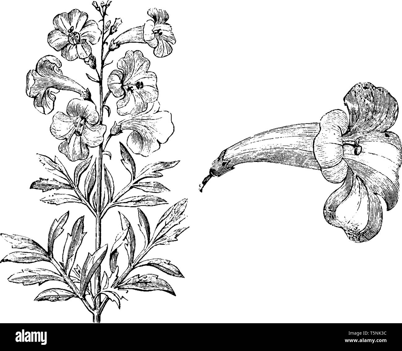 Incarvillea Olgae has bright-pink flowers, and deeply green foliage appears at the base of this plant, vintage line drawing or engraving illustration. - Stock Vector