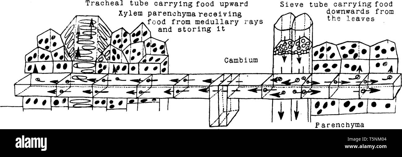 A Diagram Showing The Transport Of Food Through The Sieve Tubes The