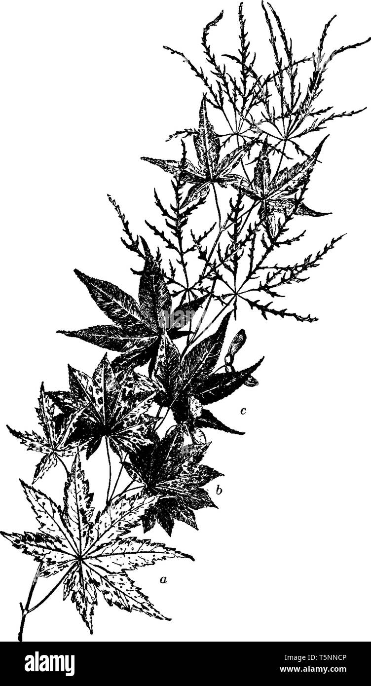 This Picture Is Showing A Several Varieties Of Japanese Maple Japanese Maple Trees Add Grace And Beauty Through The Seasons Vintage Line Drawing Or Stock Vector Image Art Alamy