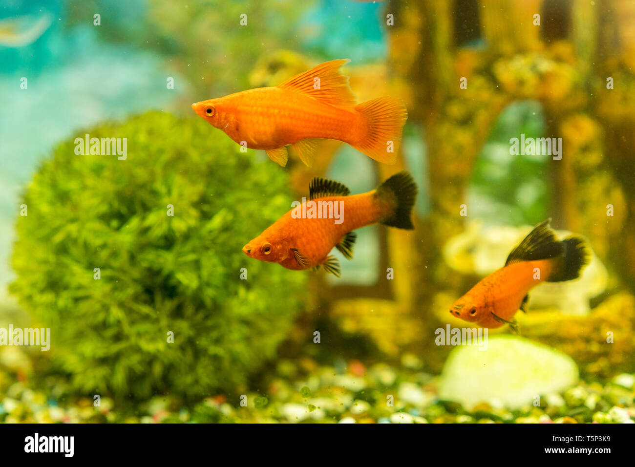 Tropical colorful fishes swimming in aquarium with plants. fish in freshwater aquarium with green beautiful planted tropical. Stock Photo