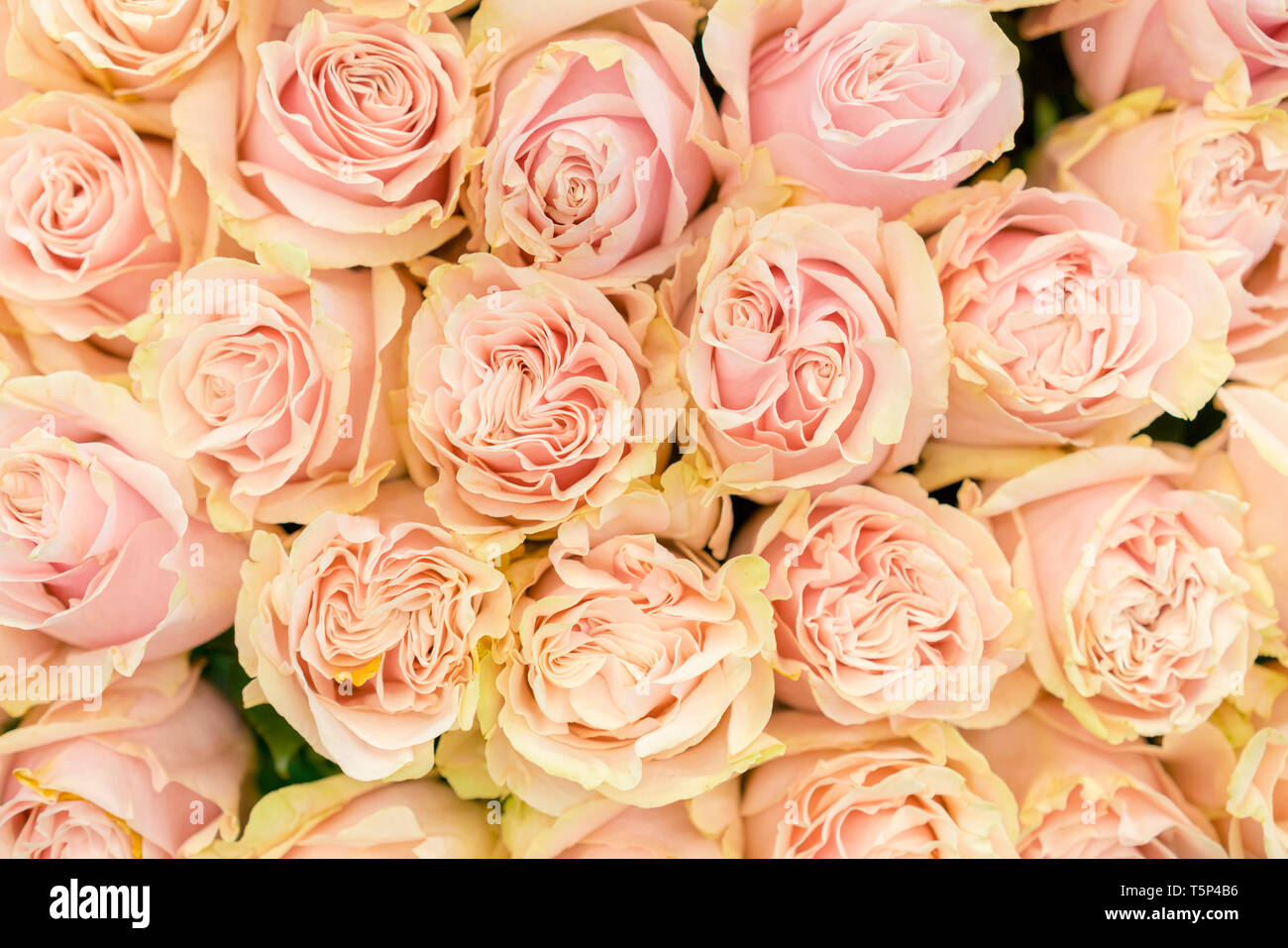 background of pink orange and peach roses fresh pink roses a huge bouquet of flowers the best gift for women stock photo alamy alamy