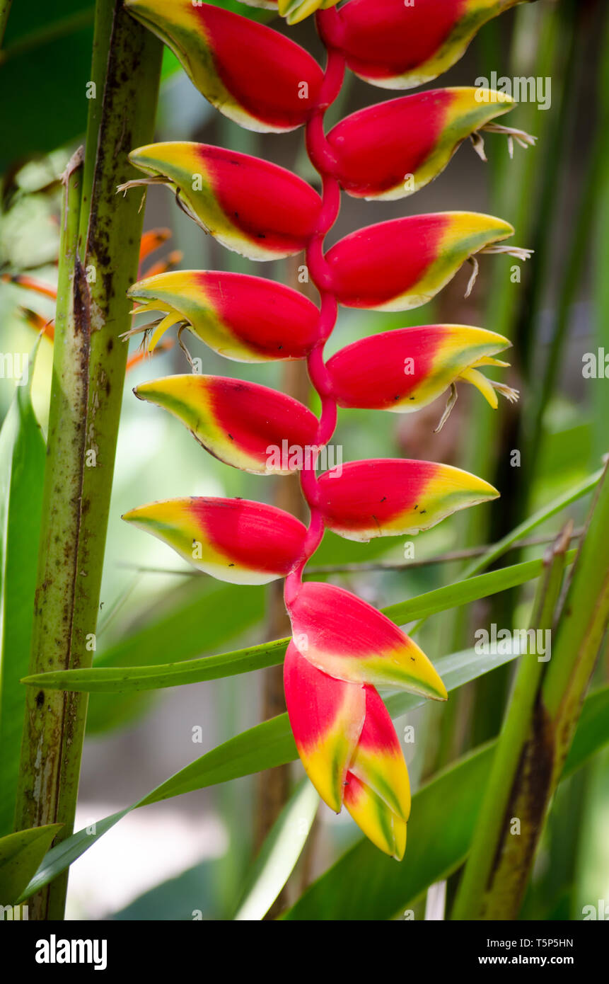 Heliconia rostrata also knows as hanging lobster claw - Stock Image