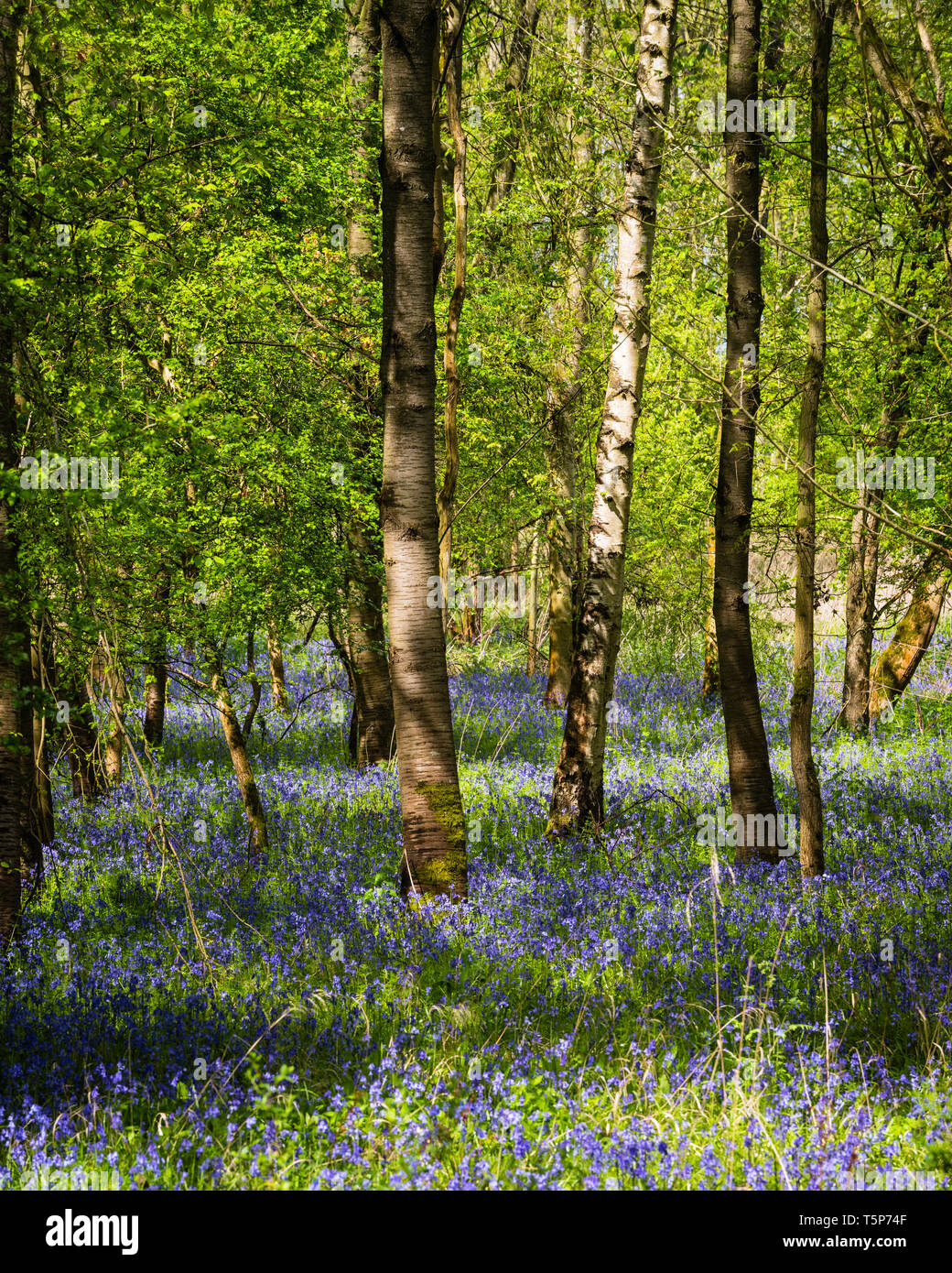 English woodland scene in spring sunshine with fresh new leaves and indigenous bluebells carpeting the floor. Stock Photo
