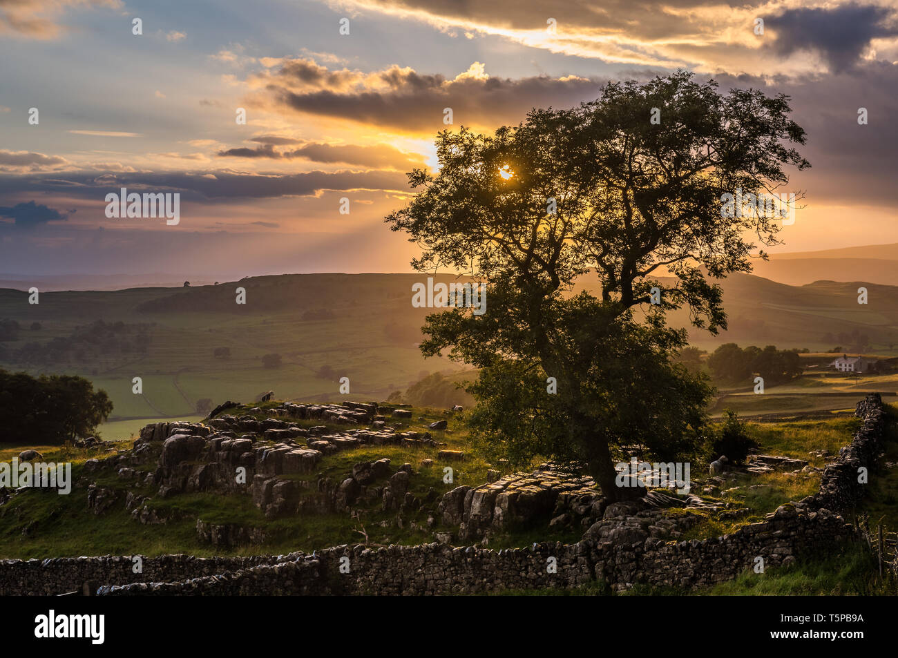 A lone tree growing through the limestone pavements on the moors near Winskill Stones in the Yorkshire Dales National Park Stock Photo