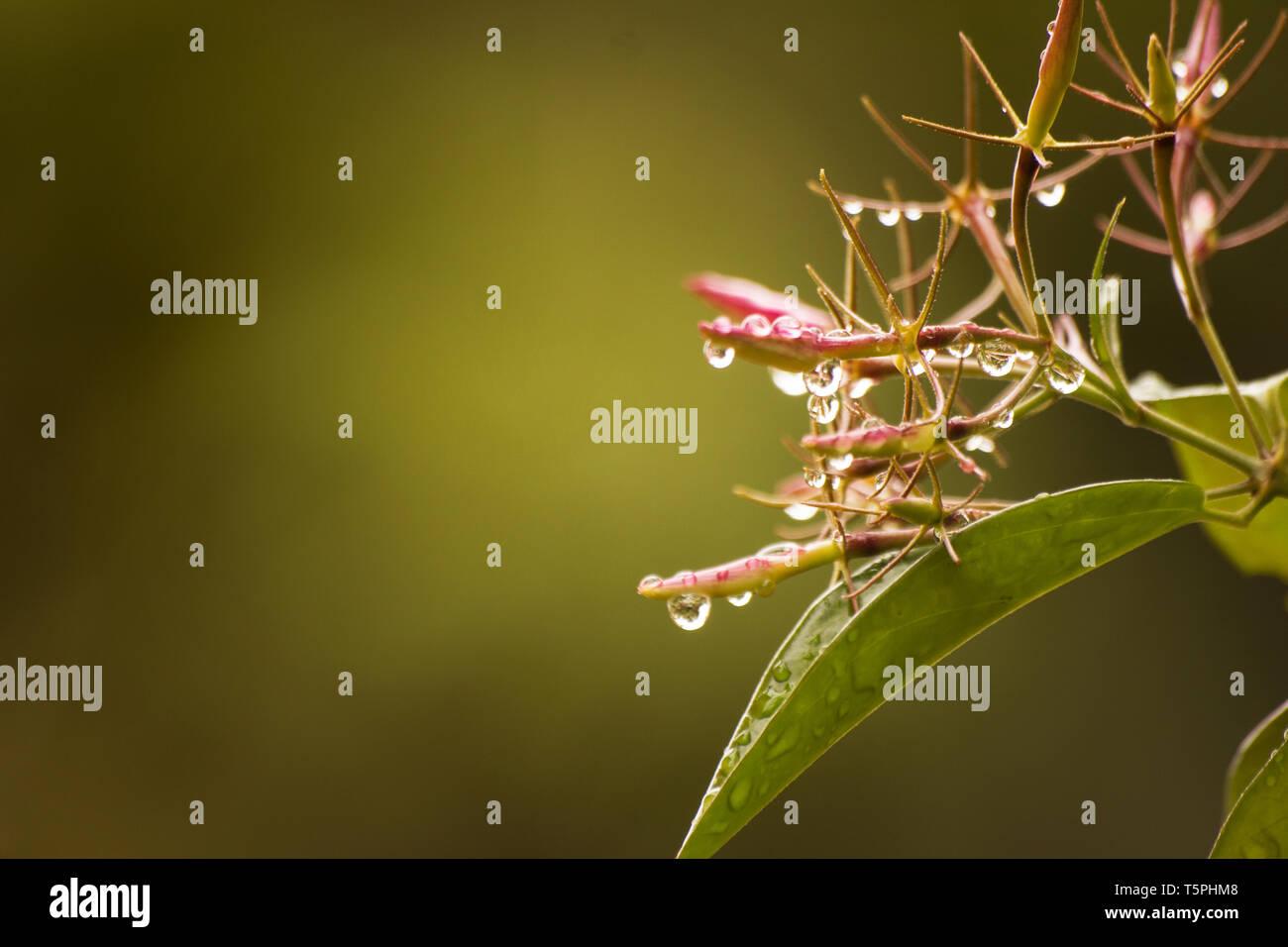 Budding jasmine plant with rain drops on natural background - Stock Image