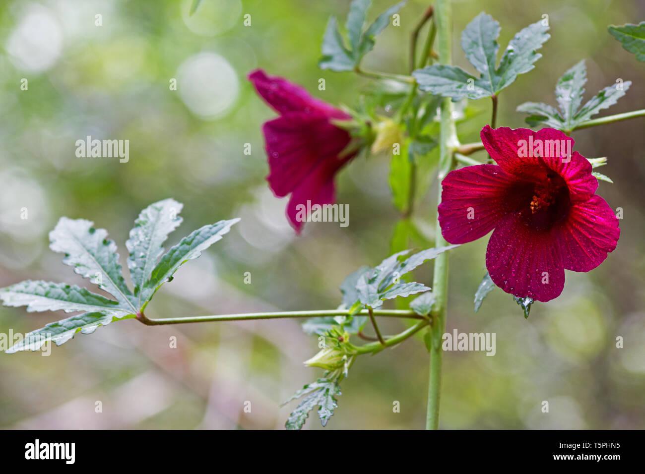 Roselle Hibiscus Sabdariffa Plant Flower Stock Photos Roselle