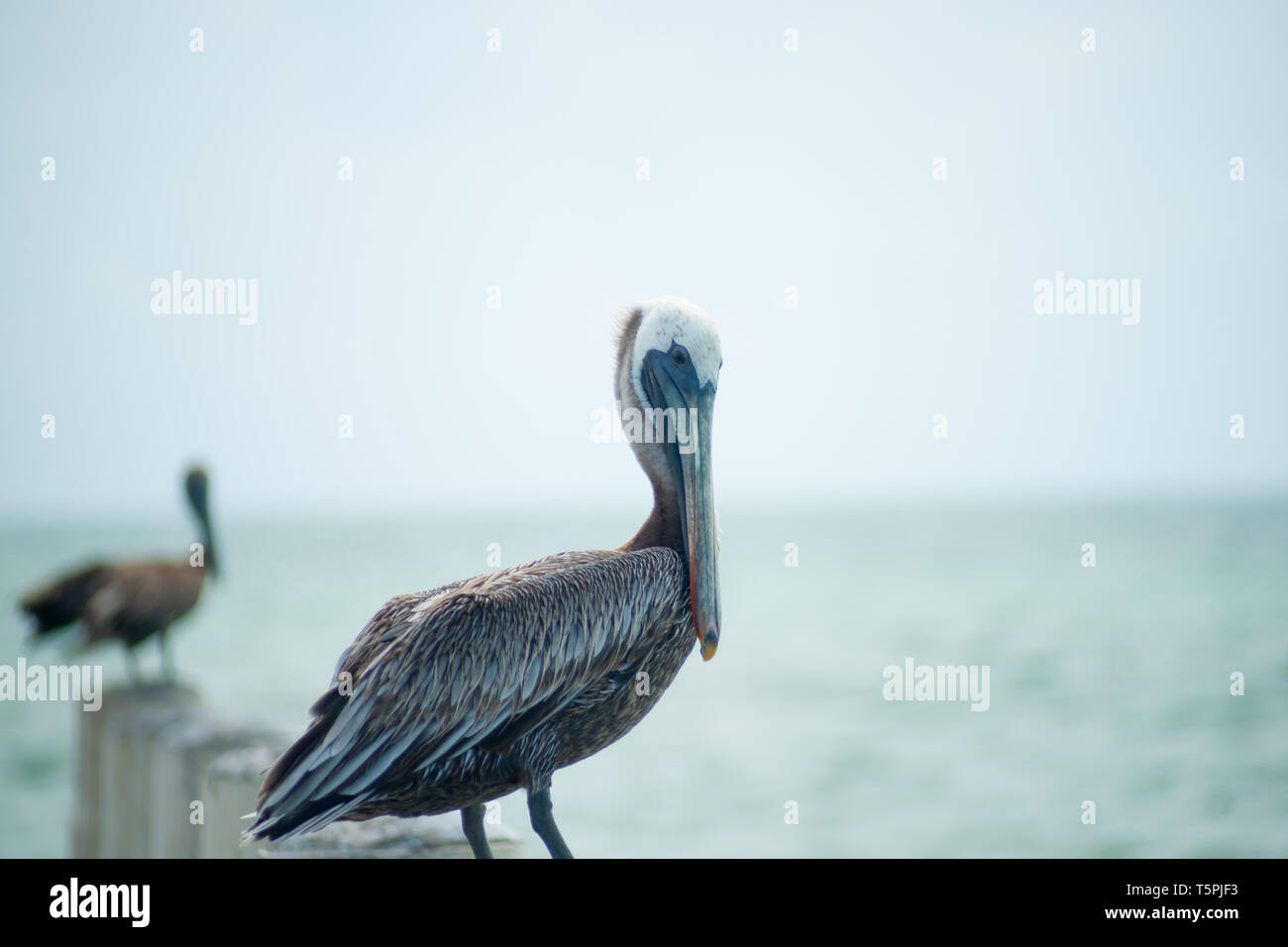 Pelican on pier post by sea. Stock Photo