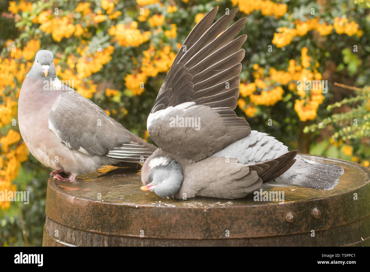 Stirlingshire, Scotland, UK. 26th Apr, 2019. UK weather - wood pigeons taking a shower on a showery day in Stirlingshire, holding wings upright one at a time allowing the rain to clean their feathers Credit: Kay Roxby/Alamy Live News Stock Photo