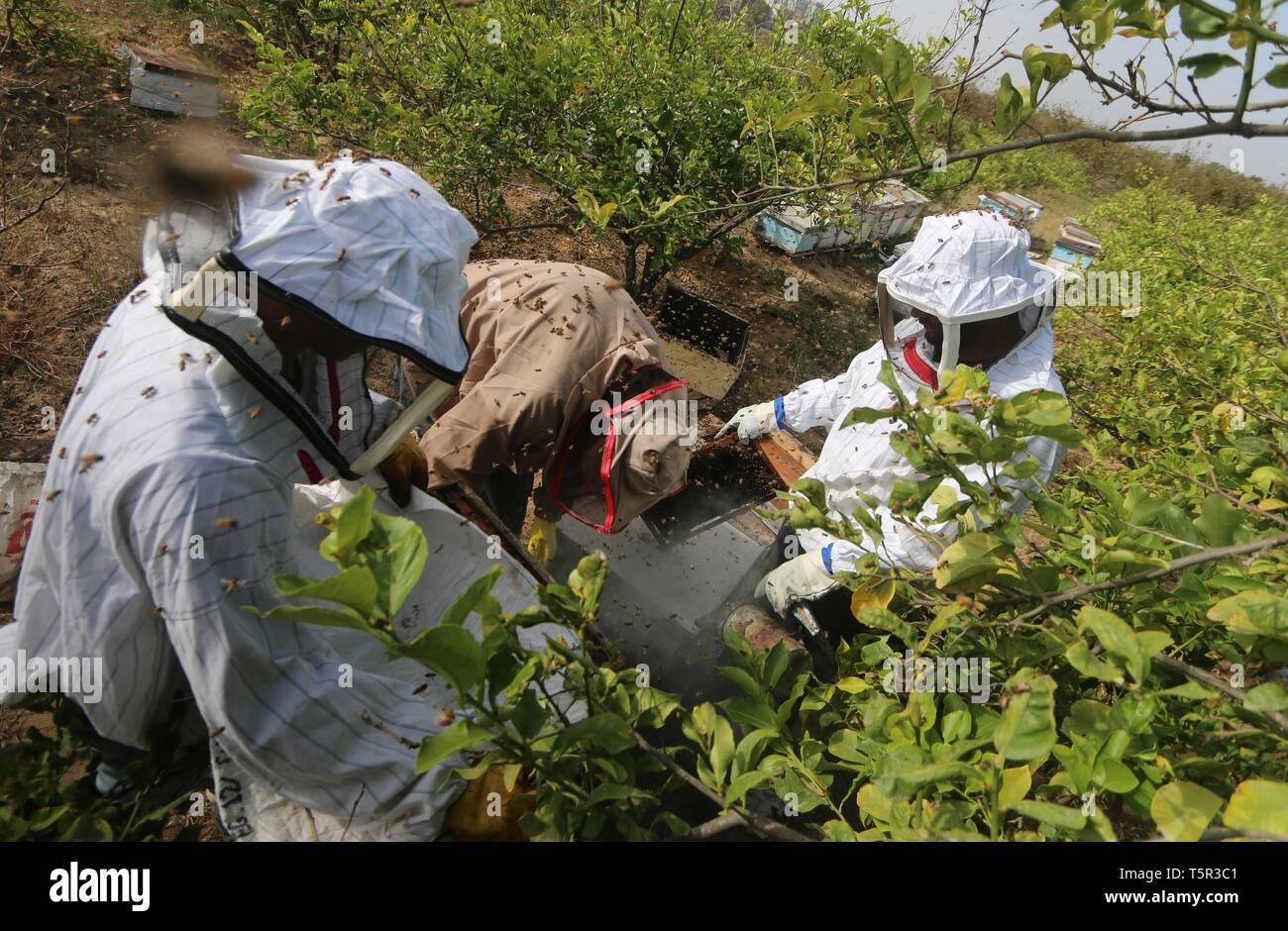 Central Of The Gaza Strip, The Gaza Strip, Palestine. 27th Apr, 2019. Palestinian beekeepers surrounded by bees as they collects honey at a farm in central of the Gaza Strip Credit: Mahmoud Khattab/Quds Net News/ZUMA Wire/Alamy Live News - Stock Image